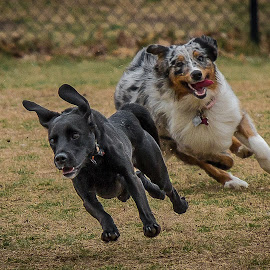 Herding Time by Ron Meyers - Animals - Dogs Running ( 3-1-2014 biscuit acres dog park )