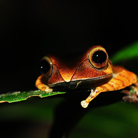 Boophis Madagascarensis Frog by Richard James - Animals Amphibians (  )