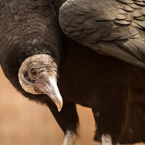 Black Vulture by Jay Huron - Animals Birds ( bird, wild, vulture, raptor, black,  )