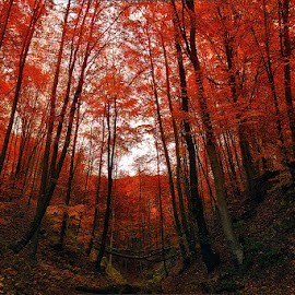 Red forest by Ioan Ciobotaru - Landscapes Forests ( red, autumn, three, forest, landscape )