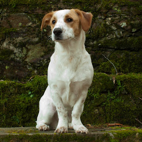 Mr Bowie by Nuno Miguel Valente - Animals - Dogs Portraits ( serra da lousã, bowie, dog )