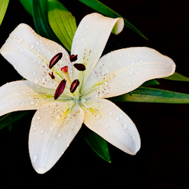 Perfect Lily by Sue Matsunaga - Novices Only Flowers & Plants
