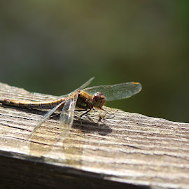 dragonfly by Andrew Barnes - Novices Only Wildlife ( hovering, wings, buzzing, insect, dragonfly )
