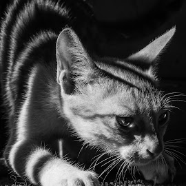 Cat by Ashish Allen - Animals - Cats Kittens ( cat, black and white, carpet, sun,  )