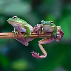 tuuuing ..tuuuing .. by Robert Cinega - Animals Amphibians