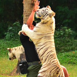 TIGER TAMER by Idda Purwaningtiyas - News & Events Entertainment