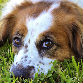 Chillin' in the Grass by Tim Hall - Animals - Dogs Portraits ( rescue dog, resting, lying, spaniel, dog, portrait,  )