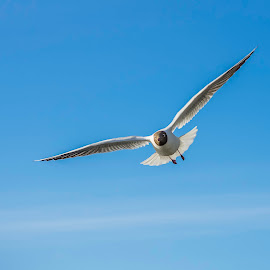 Black-headed gull by Rita Barbro Skogset - Animals Birds ( bird, sky, wings, the black-headed gull (chroicocephalus ridibundus), animal )