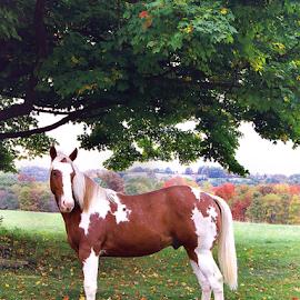 Paint by Jane Spencer - Animals Horses ( equine, autumn, horse, paint, maple,  )