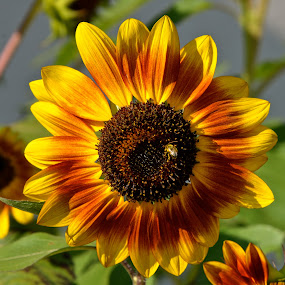 Sunflower by Carl Testo - Flowers Single Flower ( bee, sunflower, diner )