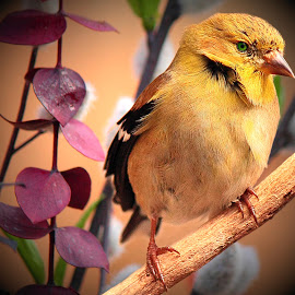 American Gold Finch by Paul Mays - Animals Birds ( bird, nature, finch, birds, kentucky )