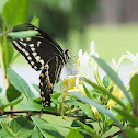 Laurel Swallowtail Butterfly