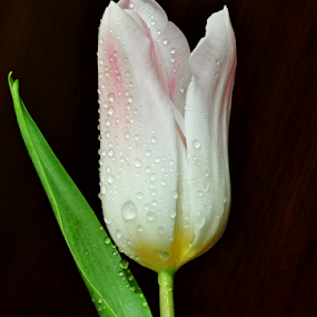 Tulip by Irena Gedgaudiene - Flowers Single Flower ( march, flower.white, tulip, flower,  )