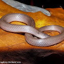 Smooth earth snake