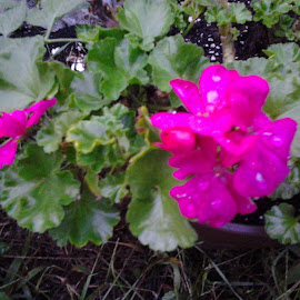 Geranium, after the rain by Patricia Johnson - Abstract Water Drops & Splashes