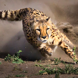Cheetah Run 3 by M K - Animals Lions, Tigers & Big Cats ( big cat, spots, cheetah, focus, tail, running, eyes, animal )