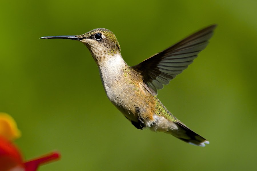 Fine Tuning My Camera by Roy Walter - Animals Birds ( flight, animals, hummingbird, wildlife, feathers, birds )