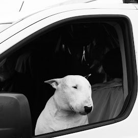 Perfect companion by Sandra Pyke - Animals - Dogs Portraits ( car, sanlee, window, melbourne, dog, hastings,  )