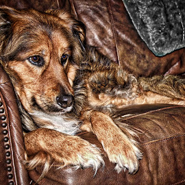 Layla by Jim Antonicello - Animals - Dogs Portraits ( layla, couch, dog portrait, leather )