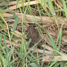 Toad in the Grass by Blythe Watt - Animals Amphibians (  )