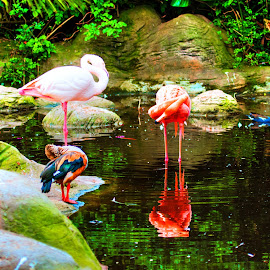 Flamingo by Andre Bez - Animals Other ( water, pink, flamingos, birds, pond )