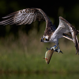 Osprey with fish by Austin Thomas - Animals Birds ( bird, flight, predator, nature, fish, prey, eye, osprey )