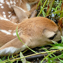 White-tailed Deer (fawn)
