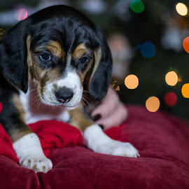 Dylan the rescue puppy for his Christmas portrait by Brent Morris - Animals - Dogs Portraits ( christmas, rescue, puppy, beagle )