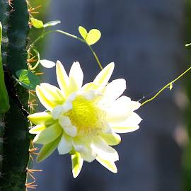 Cactus Blossoming  by Kumar Sankaralingam - Nature Up Close Other plants ( nature, other plants, cactus flower, landscape, cactus,  )