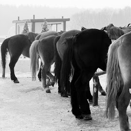 Lining Up by Linda Liem - Animals Horses ( winter, horse, changcun, animal, china )