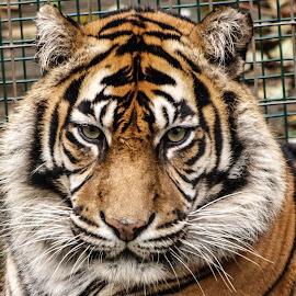 Bashful by Garry Chisholm - Animals Lions, Tigers & Big Cats ( garry chisholm, predator, carnivore, nature, tiger, wildlife )
