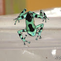 Black & Green Poison Dart Frog