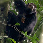 Eastern Chimpanzee (mother and young)