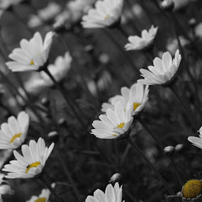 A touch of Yellow. by Linda Boyer - Flowers Flower Gardens ( colour pop, nature, black and white, daisy, garden, flower,  )