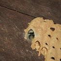 spider in pipe organ wasp's nest