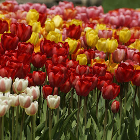 Field of tulips by Patricia Tracy - Flowers Flower Gardens ( tulip, spring, flower )