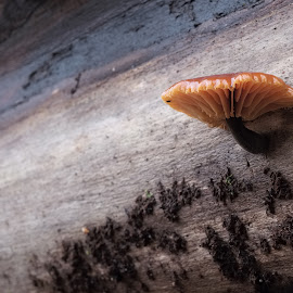 by Stefan Lundgren - Nature Up Close Mushrooms & Fungi ( makro, närbilder )