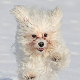 Flying Havanese by Mia Ikonen - Animals - Dogs Running ( havanese, jumping, affectionate, finland, active )