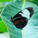 White-barred Longwing