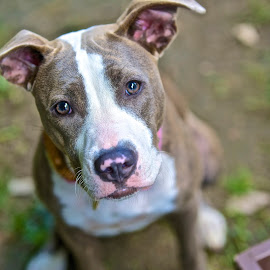 Waiting for a home at the Shelter by Martha Pope - Animals - Dogs Portraits ( pittie, shelter, adopt, foster, rescue, grey, puppy )