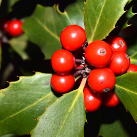 Holly Berries by Evelyn Deutsch - Nature Up Close Gardens & Produce ( hollybush, holly, nature, hollieberries, garden, berries,  )