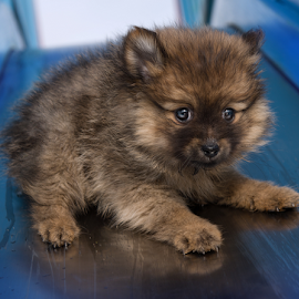 yahoo... fun time with hugo  by Michael  M Sweeney - Animals - Dogs Puppies ( puppy, michael m sweeney, dog, nikon, pomeranian )
