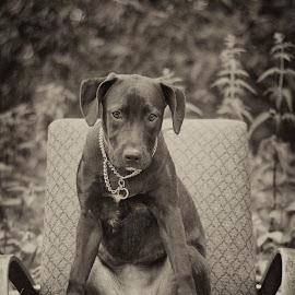 Jesi on chair by Josef Gabrhel - Animals - Dogs Puppies ( look, chair, b&w animals, life, nature, best friend, dog, portrait, eye, black and white, animal )