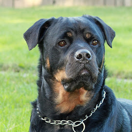 Rutger -  by Carol Langsford - Animals - Dogs Portraits ( rescue, dog, portrait, rottweiler )