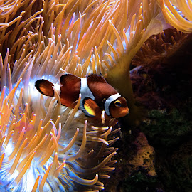 Nemo! by Claudiu Petrisor - Animals Fish ( tiny, orange, marin, colorful, fish, ocean, nemo,  )