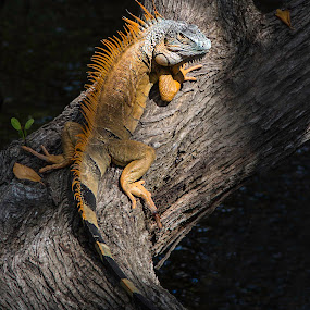 Brown Iguana by Jacob Padrul - Animals Reptiles ( iguana, alien, reptile, fantastic, south florida )