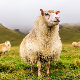 Feeling Sheepish by Stephen Bridger - Animals Other Mammals ( farm animals, countryside, europe, wildlife, farm animal, travel, farm, hillside, iceland, vik, fog, sheep, travel photography, animal )