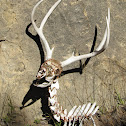 mule deer remains