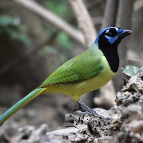 Green Jay by David Montemayor - Animals Birds ( greenjay,  )