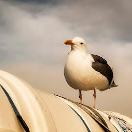 Paying Attention by Lee Jorgensen - Animals Birds ( bird, seagull, san francisco, animal,  )